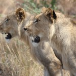 Lions at Hluhluwe