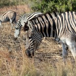 Zebras at Hluhluwe